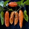 Bhut Jolokia Giant 10 semi