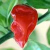 Fatalii Red (Super Hot) 10 semi
