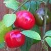 Rocoto Red 10 semi
